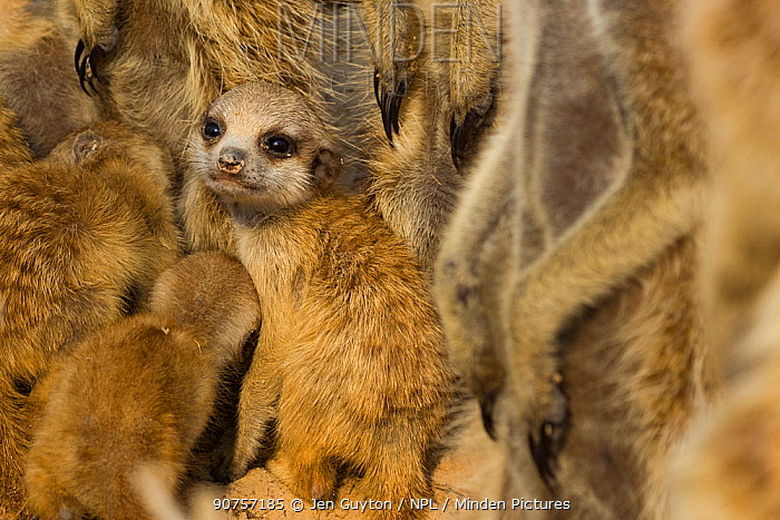 Meerkat pup (Suricata suricatta) huddling close to its family members in the Kalahari Desert, South Africa.