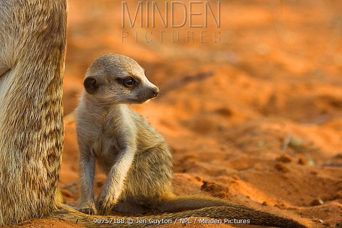 Meerkat pup (Suricata suricatta) sitting close to a family member at sunset in the Kalahari Desert, South Africa.