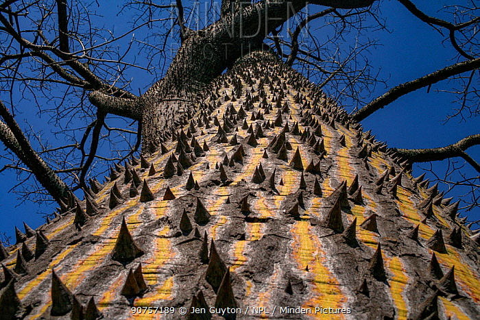 Thorny trunk of a cultivated silk floss tree (Chorisia speciosa), originally from South America, in Pietermaritzburg, South Africa.
