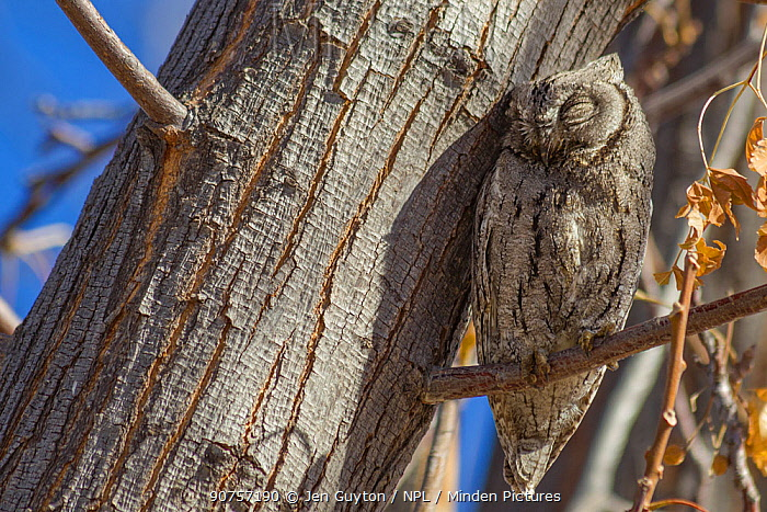 African scops owl (Otus senegalensis) perched on tree in the morning light in the Kalahari Desert, South Africa. Crop.