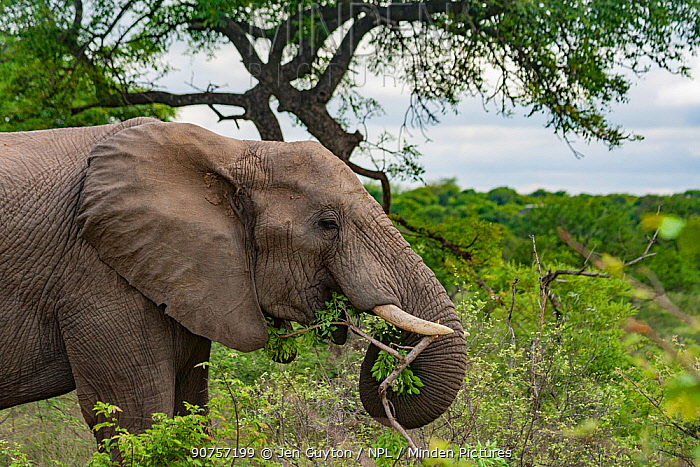 African elephant (Loxodonta africana) feeding on tree branch in Kruger National Park, South Africa.