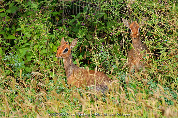 Dik-dik (Madoqua sp.), pair, Lake Manyara National Park, Tanzania.
