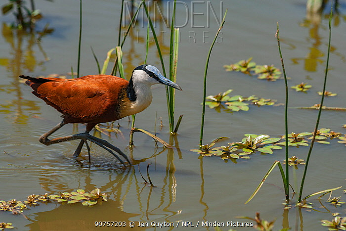 African jacana (Actophilornis africanus) wading in Kruger National Park, South Africa.