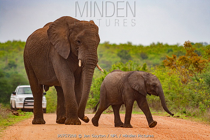 African elephant (Loxodonta africana) mother and calf cross the road in Kruger National Park, South Africa.