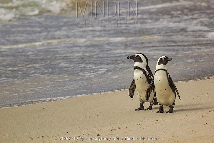 Two African penguins  (Spheniscus demersus) walk along Boulders Beach, near Simon's Town, South Africa.