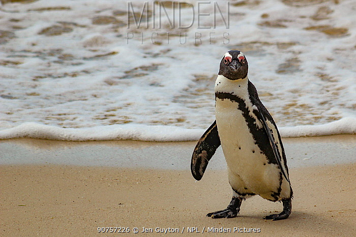 African penguin  (Spheniscus demersus) waddling along Boulders Beach, near Simon's Town, South Africa. Cropped.