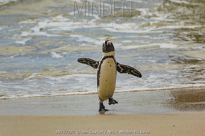 African penguin  (Spheniscus demersus) waddling along Boulders Beach, near Simon's Town, South Africa.