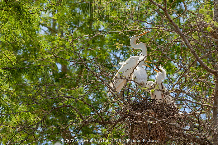 Great egret chicks (Ardea alba) begging for food from a parent in their nest. Gorongosa National Park, Mozambique