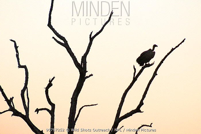 White backed vulture  (Gyps africanus) silhouetted at sunset,  Kruger National Park. South Africa. Picture taken by pupil Mapinye Rammallo during Wild Shots Outreach Residential Course.