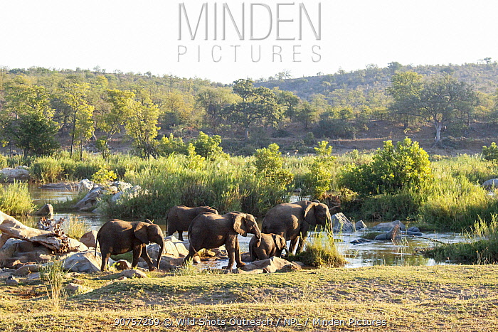 African elephants (Loxodonta africana) herd crossing river. Kruger National Park. South Africa. Picture taken by pupil Israel Morei during Wild Shots Outreach Residential Course.