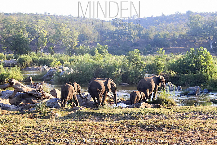 African elephant (Loxodonta africana) herd, Kruger National Park, South Africa.