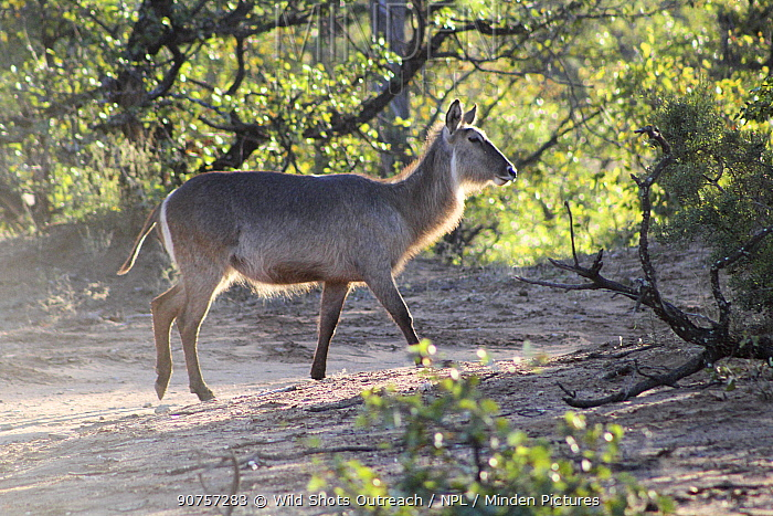 Waterbuck (Kobus ellipsiprymnus) Kruger National Park. South Africa. Picture taken by pupil Coleman Rammallo during residential photography course organised by Wild Shots Outreach.