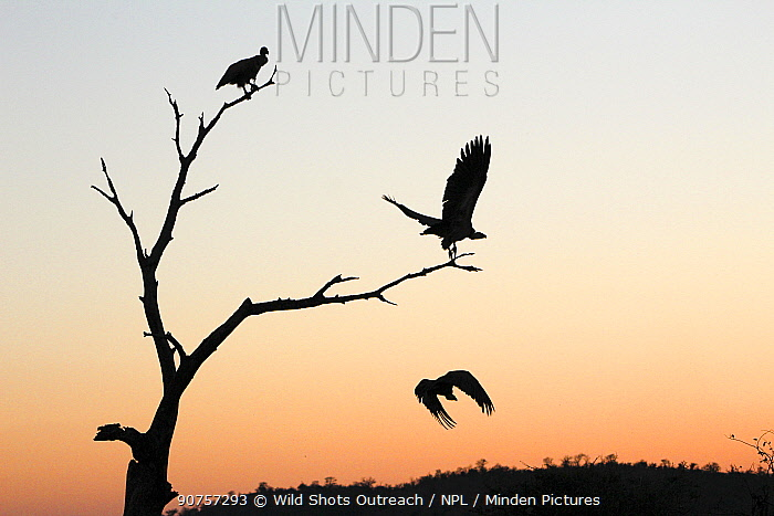 White-backed vulture (Gyps africanus) group of three, with two in flight, silhouetted at sunset, Kruger National Park, South Africa. Picture taken by Tharollo Shaai during residential photography course organised by Wild Shots Outreach.