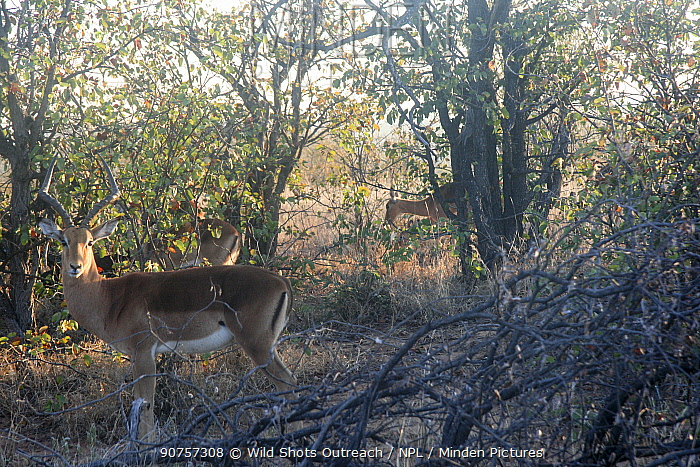 Impala (Aepyceros melampus) herd in wooded area, Kruger National Park. South Africa. Picture taken by pupil Chris Mojela during Wild Shots Outreach Residential Course.