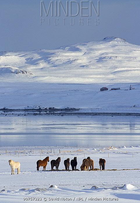 Icelandic horses in snow on a farm on Alftafjordur, Snaefellsness Peninsula, Iceland, February 2016.