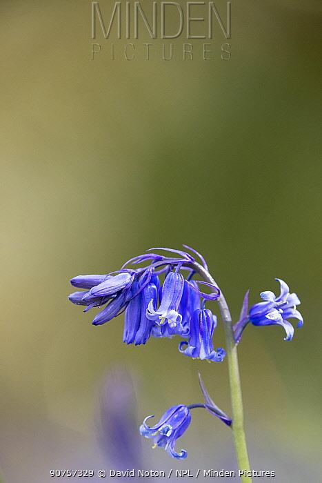 Bluebells (Hyacinthoides non-scripta) flower buds near Minterne Magna, Dorset, England, UK, April.