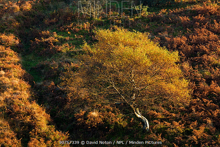 Autumn colours on moorland near Stoke Pero, Exmoor National Park, Somerset, England, UK, October 2015.