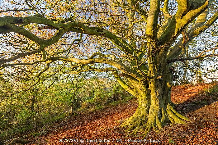 Beech tree (Fagus sylvatica) in autumn, Milborne Wick, Somerset, England, UK, November.