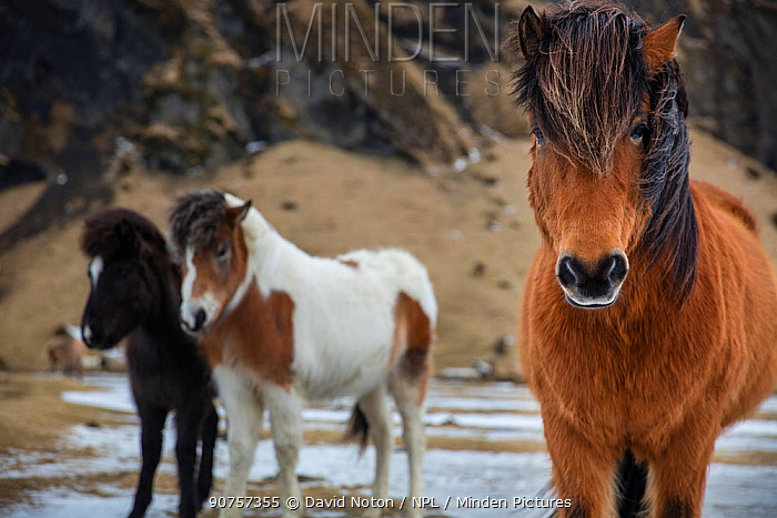 Icelandic horses near Holt, Iceland, March 2015.
