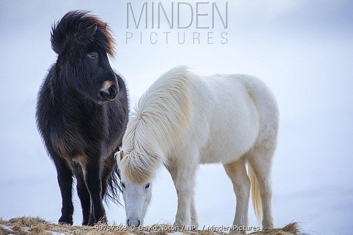Icelandic horses, one black and one white, near Helgafell, Snaefellsness Peninsula, Iceland