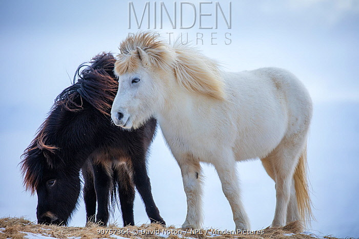 Icelandic horses near Helgafell, Snaefellsness Peninsula, Iceland, March 2015.
