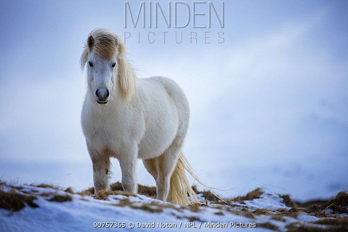 Horse near Helgafell, Snaefellsness Peninsula, Iceland, March 2015.