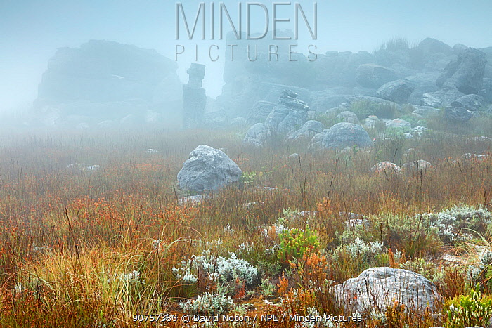 Rocks and vegetation in the mist at dawn, Hottentots Holland Mountains, Western Cape, South Africa, December 2014.