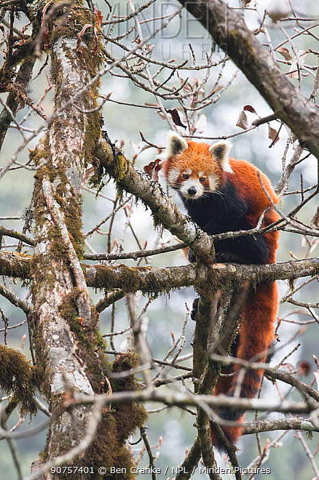 Red panda (Ailurus fulgens) in tree, Singalila National Park, West Bengal, India.