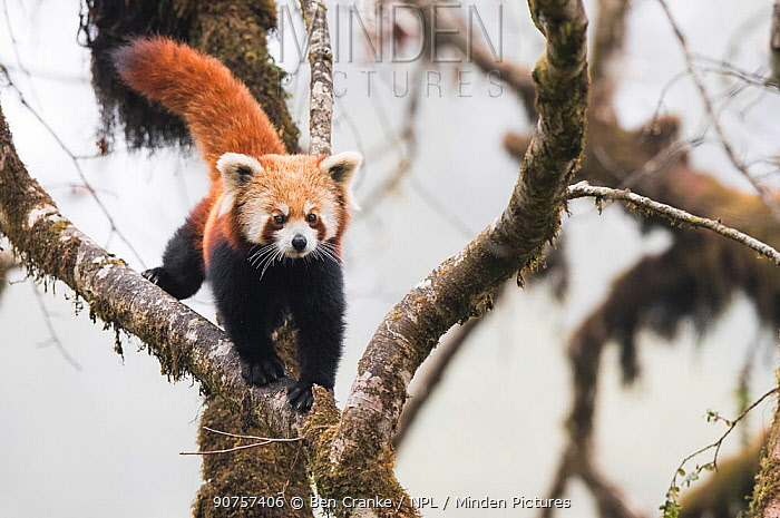 Redpanda (Ailurus fulgens) walking along branch of tree in the typical cloud forest habitat of Singalila National Park, West Bengal, India.
