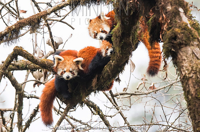 Red panda (Ailurus fulgens) family, adult female and two subadult juveniles, rest together in the canopy of the cloud forest. Singalila National Park, West Bengal, India.