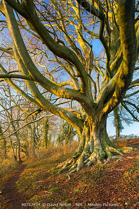 Beech tree (Fagus sylvatica) Higher Wick, Milborne Wick, Somerset, England, UK, February.