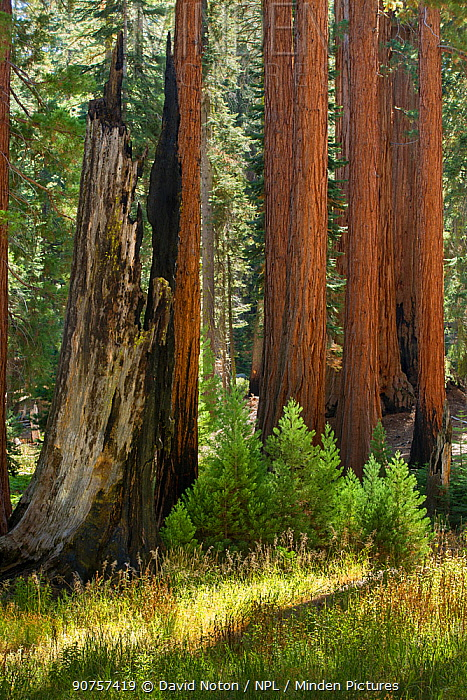 Giant sequoia (Sequoiadendron giganteum) trees in Sequoia National Park, California, USA, September 2014.