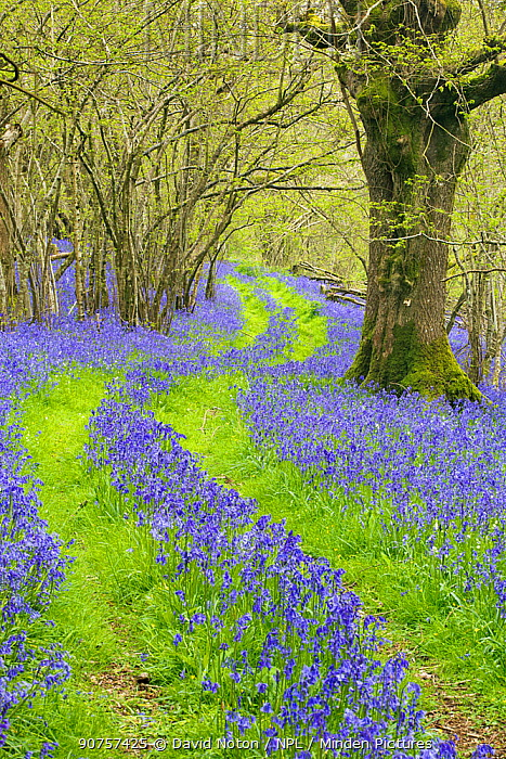 Track running through woodland with Bluebells  (Hyacinthoides non-scripta) flowering,  near Cerne Abbas, Dorset, England, UK, April 2014.