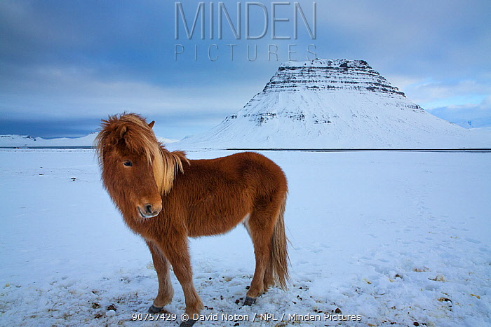 Iceland horses grazing in the snow in front of Kirkjufell, Snaefellsness Peninsula, Iceland. February 2016.
