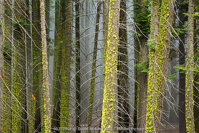 Giant Sequoia (Sequoiadendron giganteum) tree trunks, mist amongst the trees, Sequoia National Park, California, USA