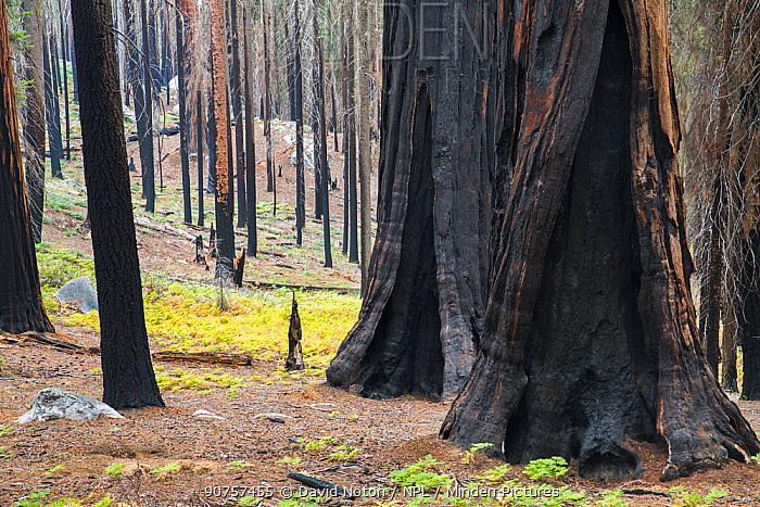 Giant sequoia trees (Sequoiadendron giganteum) damaged by forest fire near Crescent Meadow, Sequoia National Park, California, USA, September 2014.
