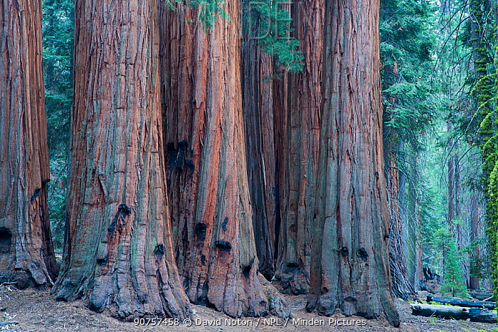 The House Group of Giant sequoia (Sequoiadendron giganteum) trees on the Congress Trail, Sequoia National Park, California, USA, September 2014.