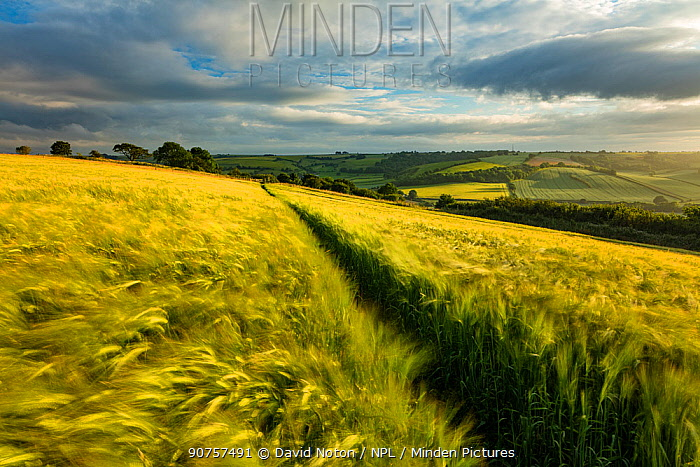Barley  (Hordeum vulgare) field near Cerne Abbas, Dorset, England, UK. July 2016.