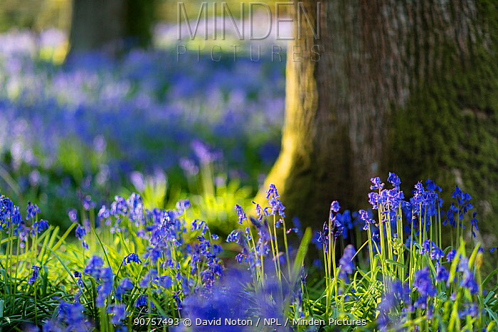 Bluebells (Hyacinthoides non-scripta) in the woods near Minterne Magna, Dorset, England, UK, May 2016.