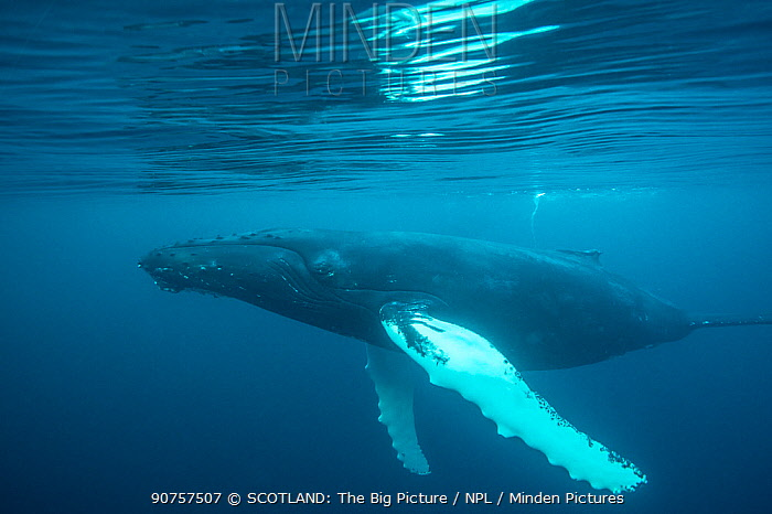 Humpback whale  (Megaptera novaeangliae) just under surface, off Shetland, Scotland, UK.  First ever underwater images of humpbacks in British waters