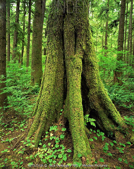 Moss covered trunk of Western hemlock tree {Tsuga heterophylla} in temperate rainforest, nr Mora Beach, Olympic NP, Washington, USA