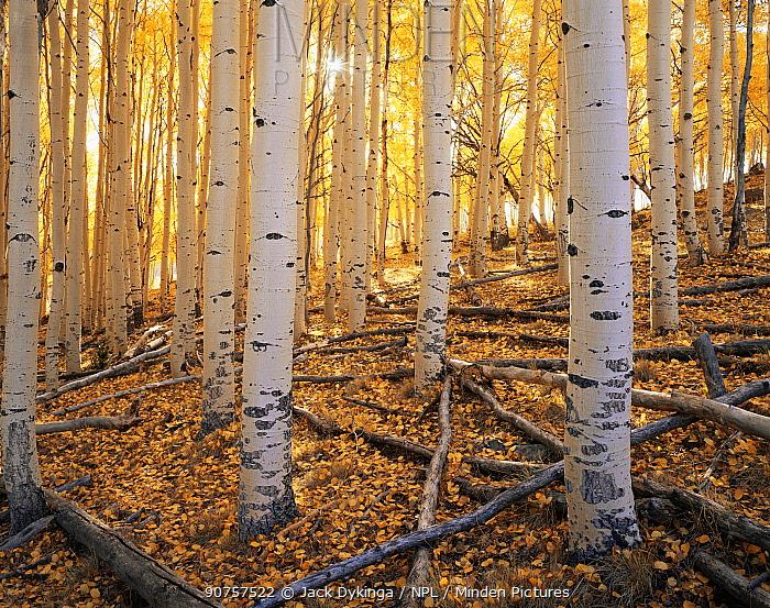 Trunks of Quaking aspen trees {Populus tremuloides} in morning sun, autumn, Boulder Mountain, Dixie national forest, Utah, USA