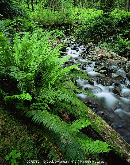 Sword ferns {Polystichum munitum} growing beside stream, Hoh temperate rainforest, Olympic NP, Washington, USA