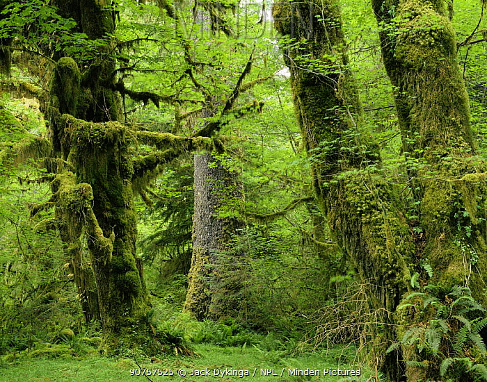 Moss covered trunks of Sitka spruce {Picea sitchensis} and Big leaf maple {Acer macrophyllum}, also Sword ferns {Polystichum munitum} Hoh temperate rainforest, Olympic NP, Washington, USA