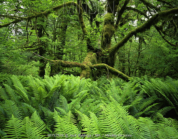 Moss covered trunk of Big leaf maple {Acer macrophyllum} with Sword ferns {Polystichum munitum} in foreground, Hoh temperate rainforest, Olympic NP, Washington, USA