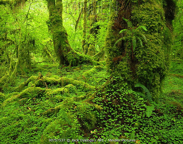 Club moss {Lycopodium sp} covering trunks of Big leaf maple {Acer macrophyllum} with Sword ferns {Polystichum munitum} and Wood sorrel {Oxalis oregana} in foreground, Hoh temperate rainforest, Olympic NP, Washington, USA