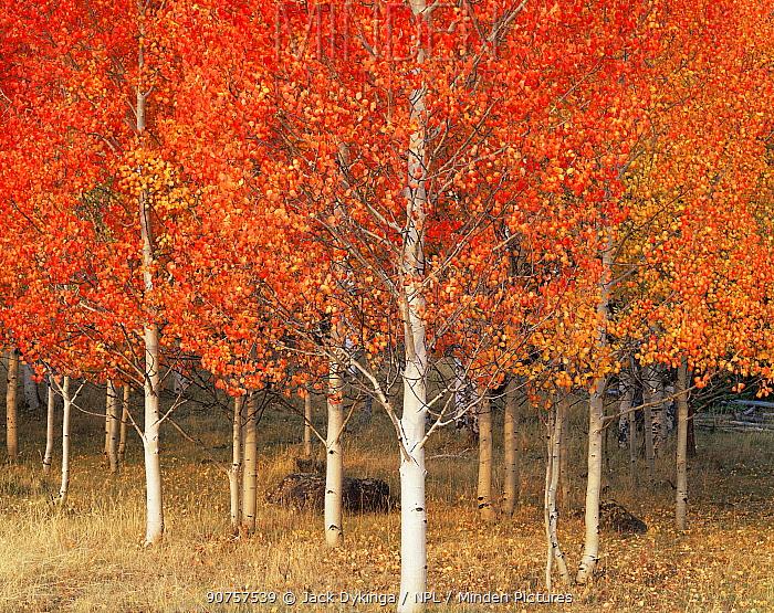 Quaking aspen trees {Populus tremuloides} in autumn, Boulder Mountain, Dixie national forest, Utah, USA