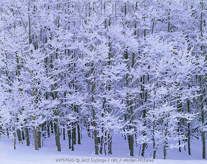 Quaking aspen trees {Populus tremuloides} covered in snow and ice in winter, Boulder Mountain, Aquarius plateau, Dixie national forest, Utah, USA