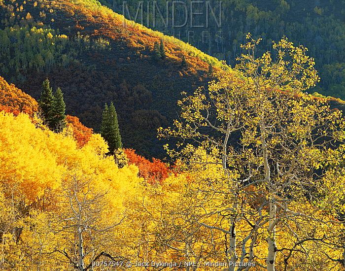 Quaking aspen {Populus tremuloides} Douglas fir {Pseudotsuga menziesii} and Red Gambel oak {Quercus gambelii} trees in autumn colours, Mt Timpanogos, Uinta National Forest, Utah, USA