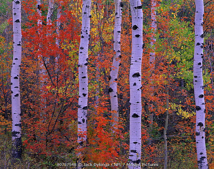 Quaking aspen {Populus tremuloides} and Bigtooth maple {Acer grandindentatum} trees in autumn colours, Mt Timpanogos, Uinta National Forest, Utah, USA